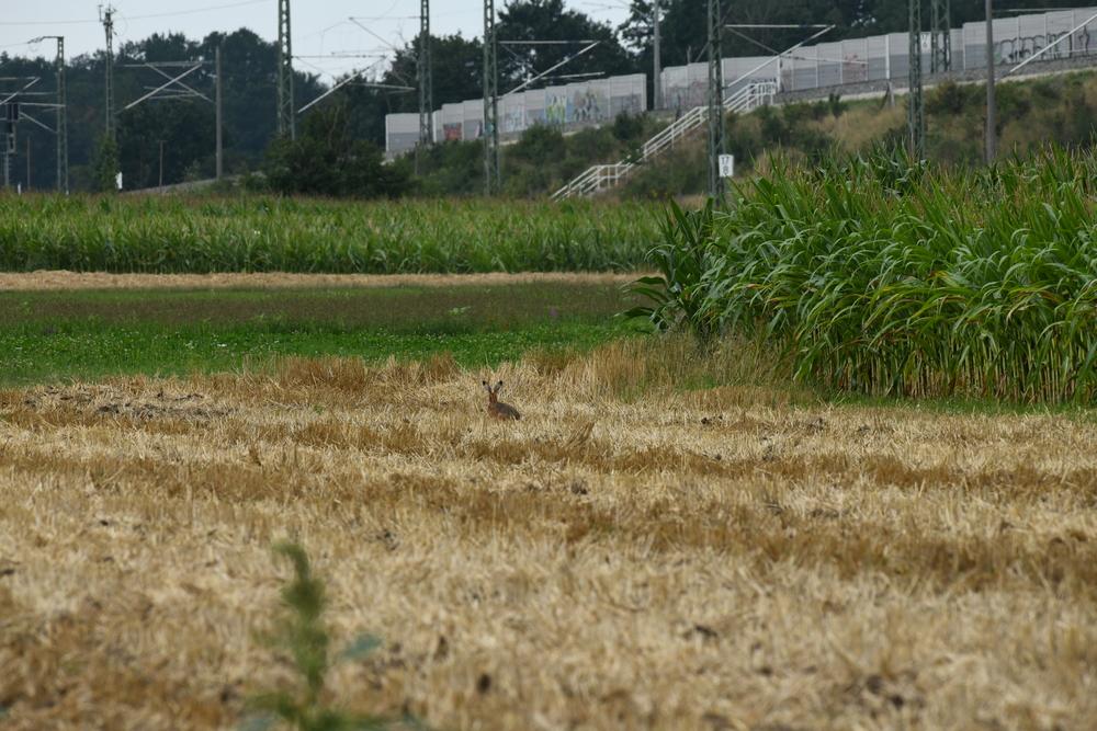 Das Bild zeigt einen Feldhasen auf einem abgeernteten Getreidefeld. Im Hintergrund erkennt man eine Wiese, zwei Maisäcker sowie die Bahntrasse mit Bäumen und Sträuchern.