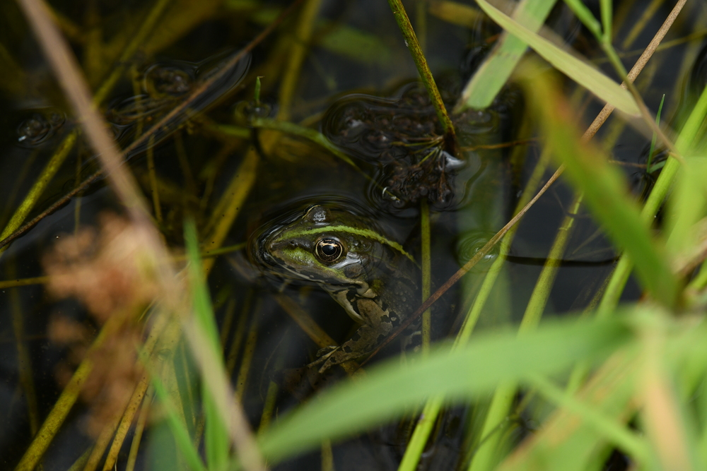 Das Bild zeigt einen Frosch, der mit dem Kopf aus einem klaren Gewässer ragt. In und über dem Gewässer befinden sich Halme von Gräsern.