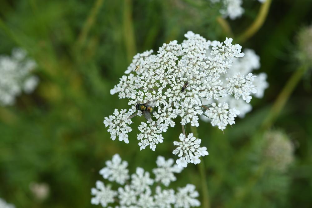Das Bild zeigt mehrere Insekten auf einer weißen Blüte, im Hintergrund ist eine Wiese zu sehen.